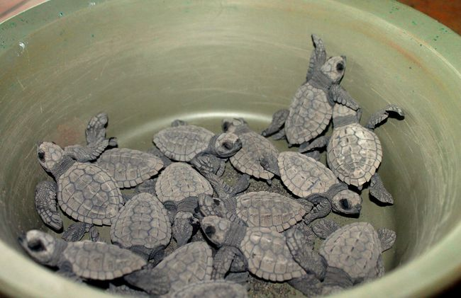 /projects/maximo-nivel-volunteer-sea-turtle-conservation-guatemala/